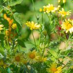 yellowdaisies-photograph