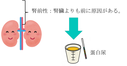Prerenal proteinuria