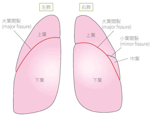a lobe of the lung6