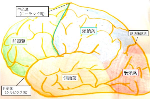 cerebrum-