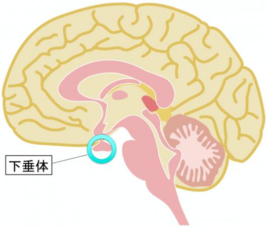 glandula-pituitaria