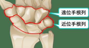 手根骨の遠位および近位列のイラスト