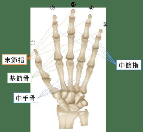 指の骨の名前