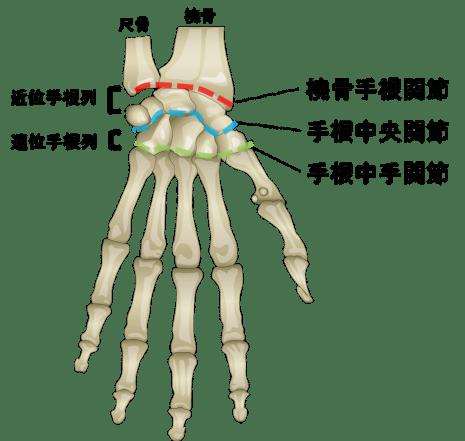 手関節のイラスト