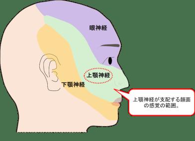 三叉神経の第2枝である上顎神経の支配領域のイラスト