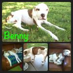 Benny, Boxer Mix - Medical Animals In Need (20)