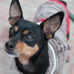 Chase, Min Pin Mix