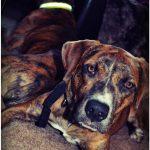 Duke, Boxer/Hound Mix