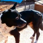 Flower, Schipperke-Border Collie Mix - Medical Animals In Need - Updates (4)
