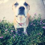 Jessie, Boxer-Shepherd mix - Medical Animals In Need (1)