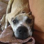 Jessie, Boxer-Shepherd mix - Medical Animals In Need (11)