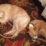 Jessie, Boxer-Shepherd mix - Medical Animals In Need (4)