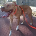 Lucky, Pit Bull Mix - Medical Animals In Need - After (28)