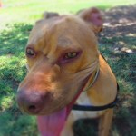 Lucky, Pit Bull Mix - Medical Animals In Need - After (5)