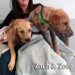 Zach & Zoie, Lab/Shepherd Mixes