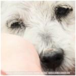 Annie, Miniature Schnauzer (10)