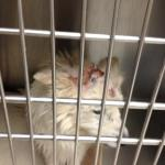 Perry - American Eskimor Mix - MAIN - Medical Animals In Need. Phoenix AZ (11)