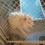 Perry - American Eskimor Mix - MAIN - Medical Animals In Need. Phoenix AZ (5)
