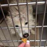 Perry - American Eskimor Mix - MAIN - Medical Animals In Need. Phoenix AZ (8)
