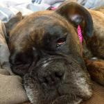 Pixie resting in foster