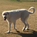 Oscar, Great Pyrenees