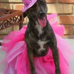 Arabella, Italian Greyhound Mix