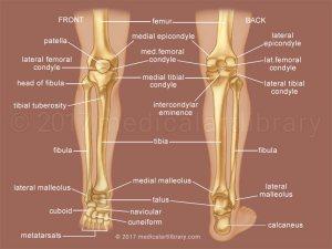 Leg Bones  Medical Art Library