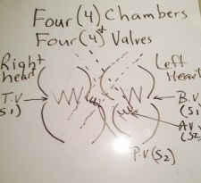 Chambers and Valves of the HEART; The closing of the valves gives the heart sounds that are heard during auscultation with stethoscope; The first heart sound (S1) is closing of the Atrial Valves (Tricuspid valve, and Bicuspid or Mitral Valve); and the closing of the semilunar valves (Pulmonary Valve and Aortic Valve) gives the S2 sound.  Any sound between or before those two sounds, such as S3, S4, heart murmur, etc, are abnormal HEART SOUNDS. The valves and closed chambers allow for blood to FLOW in a one direction, with dynamic pressure shifts.