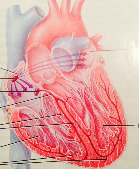 The Heart, Myocardial Cell In Disease   Medical Diagnostic ...