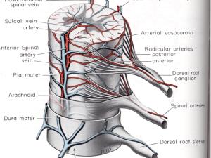 кровоснабжение, корешки, спиной мозг