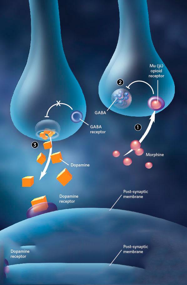 ГАМК, антиноцицепция