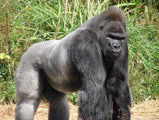 хромосомы, горилла, Genome Research