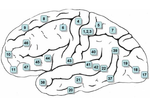 Головной мозг, числа, Cerebral Cortex