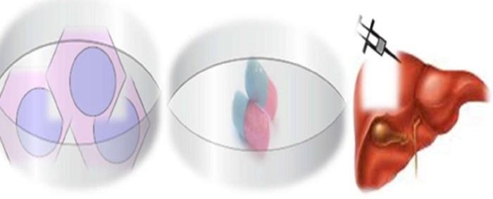 стволовые клетки, печень
