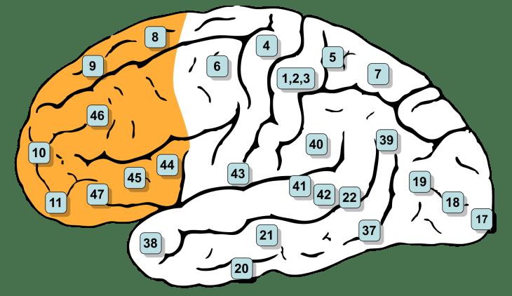 Лобная доля, головной мозг