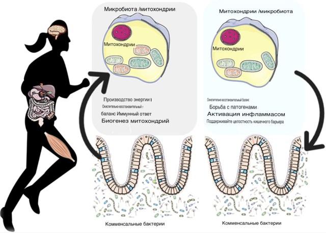 Здоровая микрофлора кишечника может быть необходима для роста мышц