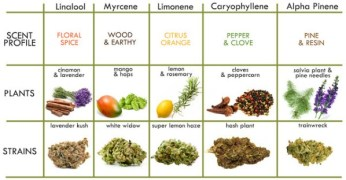 cannabis strains related to individual terpene