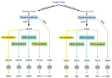 cannabis science graph showing how cannabinoids work within our Endocannabinoid System