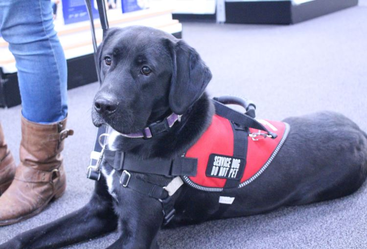 Black lab service dog in the down position with a service dog vest.