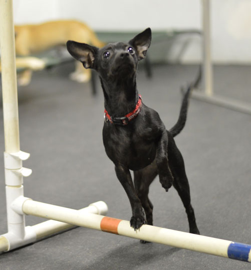 Rescued service dog standing on a agility jump with one paw