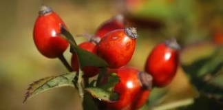 rose hip uses
