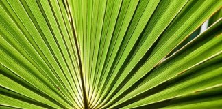 saw palmetto uses