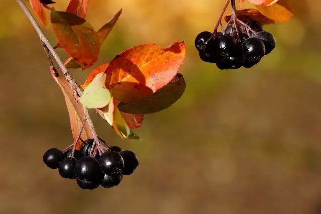 aronia berry polyphenols