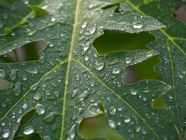 6 Medicinal Health Benefits of Papaya leaf juice