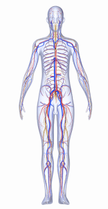 peripheral arteries