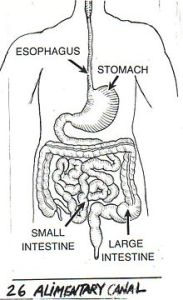 alimentary canal-medical terminology