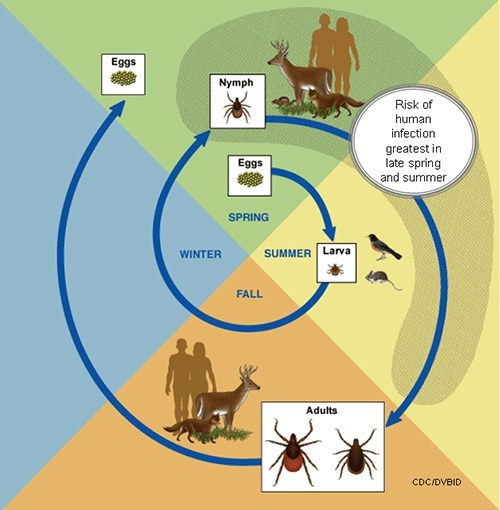 Lyme Disease and the life cycle of the blacklegged tick