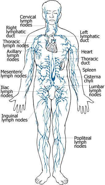Para Aortic Lymph Node Location Diagram