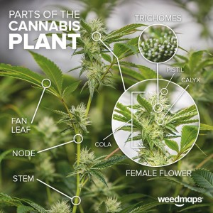 plant parts cannabis