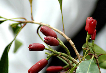 Image result for cloves on the plant